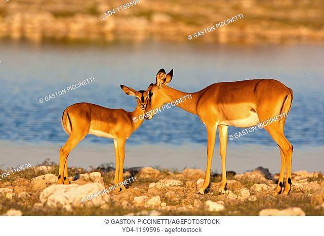 Black-faced impala Aepycerus melampus petersi - Mother and Young, Etosha National Park, Namibia