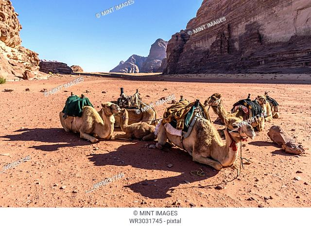 Group of camels resting in the Wadi Rum desert wilderness in southern Jordan