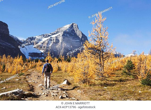 Man hiking through subalpine larch trees in fall colours in Saddleback Pass near Lake Louise, Alberta, Canada