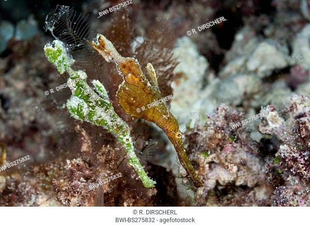 Ghost Pipefish (Solenostomus halimeda), Pair of Ghost Pipefish, Fiji, Namena Marine Park