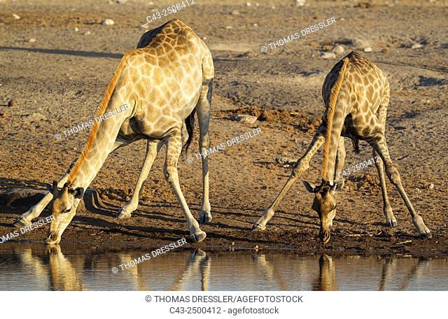 Southern Giraffe (Giraffa camelopardalis giraffa) - Two females, drinking at a waterhole in the evening. Etosha National Park, Namibia