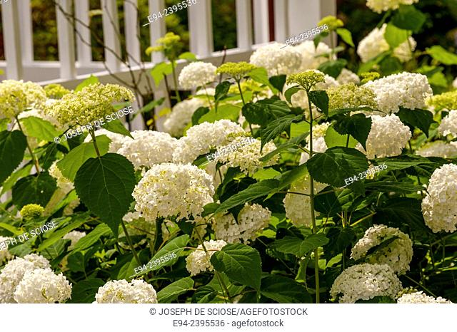 A white picket fence with flowering hydrangeas in a garden. Georgia USA