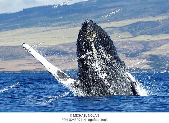 Adult humpback whale Megaptera novaeangliae breaching in the AuAu Channel, Maui, Hawaii, USA. Pacific Ocean