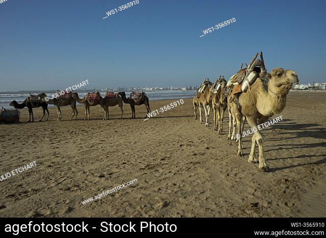 Tourists and camels on the beach by Atlantic Ocean in Essaouira, Morocco