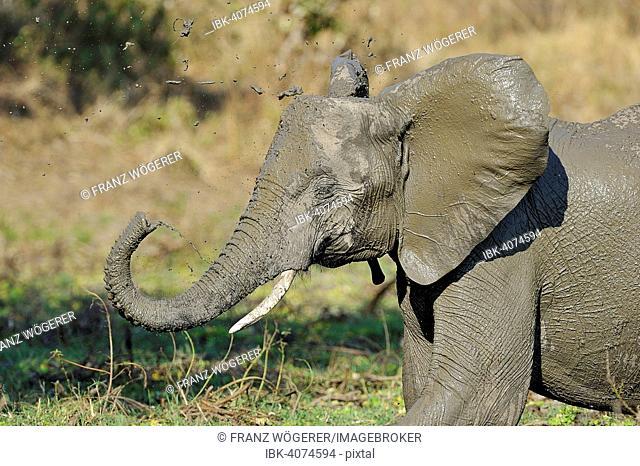 African Elephant (Loxodonta africana), Offspring splashing around mud, South Luangwa National Park, Zambia