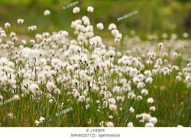 tussock cotton-grass, hare's-tail cottongrass Eriophorum vaginatum, blooming and with fruits, Germany, North Rhine-Westphalia