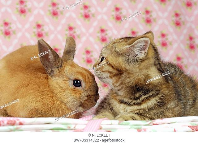 Netherland Dwarf (Oryctolagus cuniculus f. domestica), lying next to domestic cat