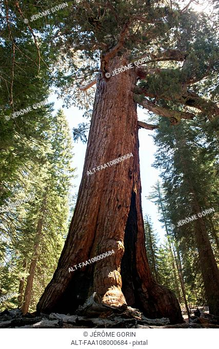 Giant sequoia tree, Yosemite National Park, California, USA
