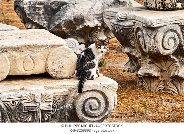 Turkey, Izmir province, Selcuk city, archaeological site of Ephesus, many cats leave on the site