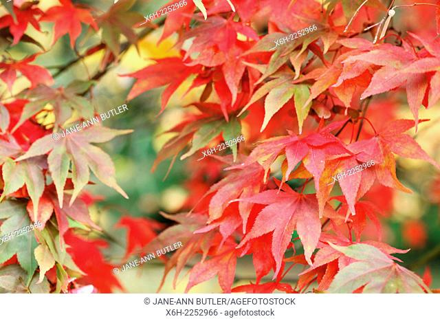 beautiful maple leaves turning colour in Autumn