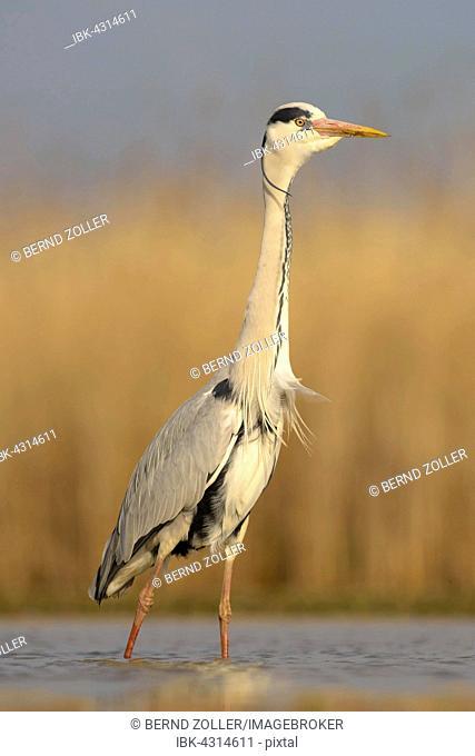 Grey heron (Ardea cinerea), adult standing, Kiskunság National Park, Hungary