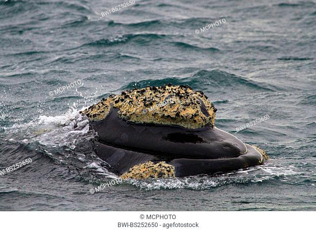 southern right whale Eubalaena australis, Balaena glacialis australis, in the water, Argentina