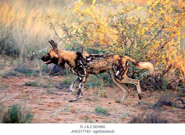 African Wild Dog, (Lycaon pictus), adult hunting, Tswalu Game Reserve, Kalahari, Northern Cape, South Africa, Africa