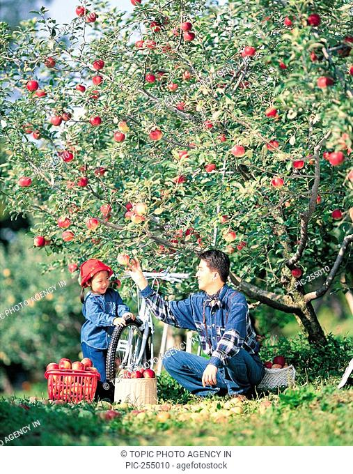 Father And Daughter At Apple Orchard,Korea