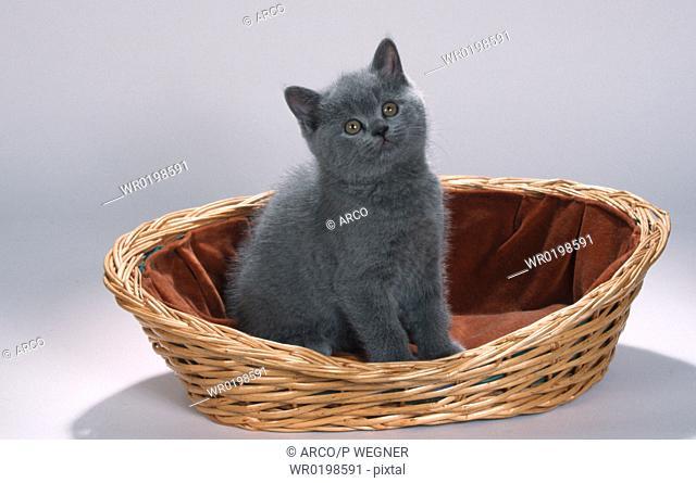 British, Shorthair, Cat, blue, kitten, in, basket