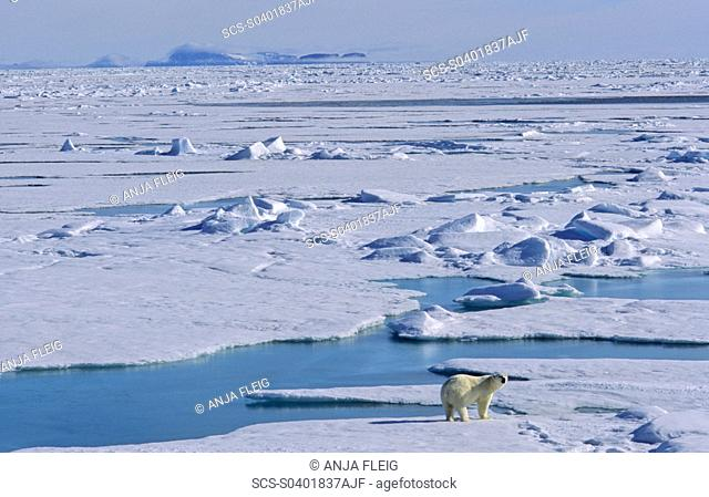 A well fed Polar Bear Ursus maritimus standing on melting pack ice, looking curiously, in the background a mountain silhouette Northwest of Nordaustlandet