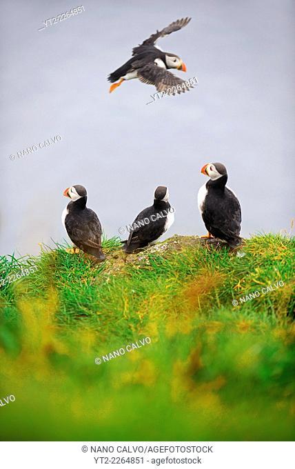 Atlantic Puffins on Mykines island, Faroe Islands