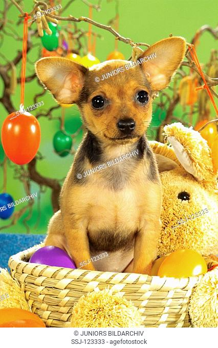Russian Toy Terrier - puppy sitting in basket in front of Easter eggs