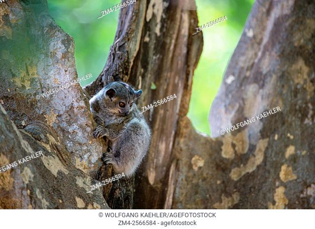 A nocturnal White-footed sportive lemur (Lepilemur leucopus) resting in tree during the daytime at Berenty Reserve in southern Madagascar