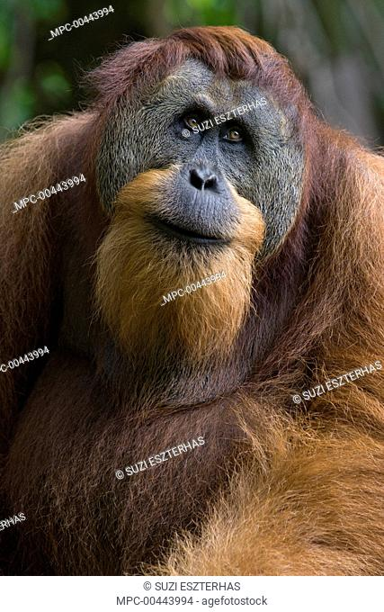 Sumatran Orangutan (Pongo abelii) dominant male, north Sumatra, Gunung Leuser National Park, Indonesia