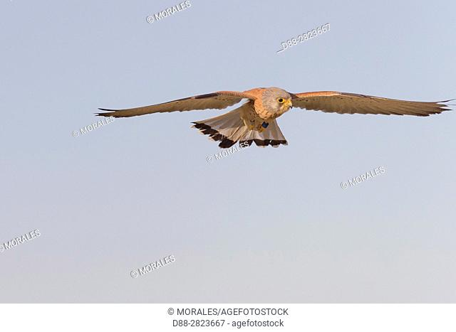 Europe, Spain, Catalonia, Lesser Kestrel, male in flight near the artificial cavity of a building entirely constructed for the nesting of these birds