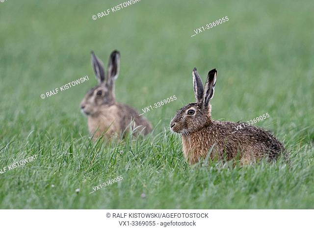 Brown Hares / European Hares / Feldhasen ( Lepus europaeus ), two, pair of, sitting in grass on farmland, watching attentively, wildlife, Europe.