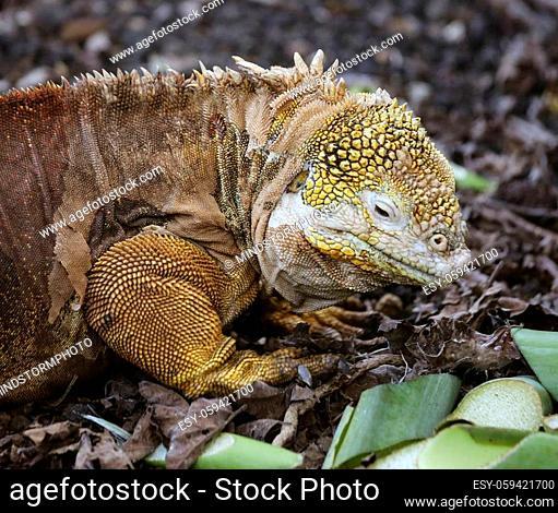 Golden Iguanas Laying On Galapagos Islands