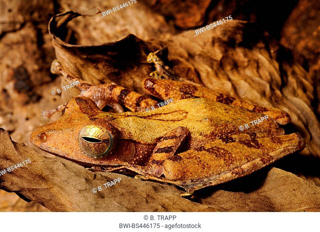 black-spotted tree frog, Colletts tree frog (Polypedates colletti, Rhacophorus colletti), well camouflaged on a dry leaf, Indonesia
