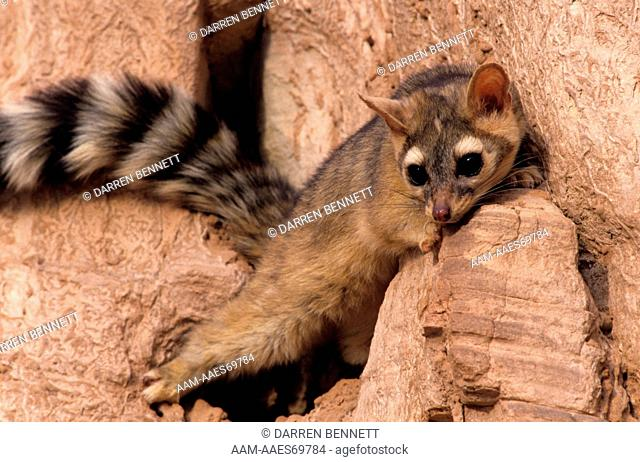 Ringtail (Bassariscus astutus), captive, Spanish Fork, UT, clinging to a small redrock ledge