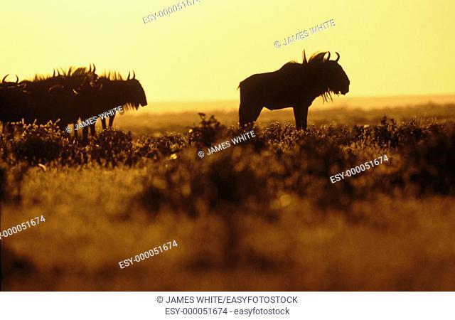 Blue Wildebeest (Connochaetes taurinus), dominant male silhouette. Etosha National Park, Namibia