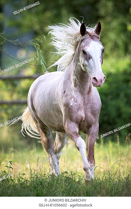 Missouri Fox Trotter. Strawberry roan gelding galloping on a pasture. Switzerland