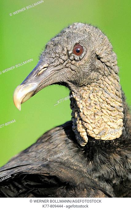 Black Vulture (Coragyps atratus). Everglades N.P., Florida, USA