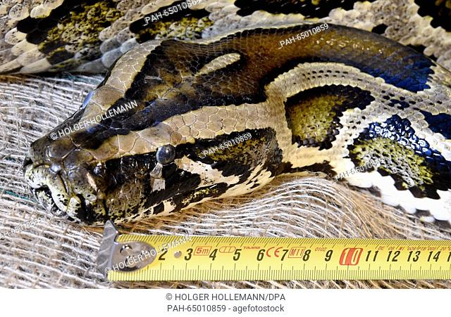 Indian python Little Moses jr. is measured and weighed at the adventure zoo in Hanover, Germany, 13 January 2016. Little Moses jr. is 4.30 meters long