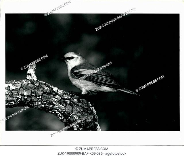 Sep. 09, 1980 - Bird. This photo was shot from Barth Schorre's blind in Rockport. The bird is a Brewster's warbler, a hybrid of the blue-winged and golden-...