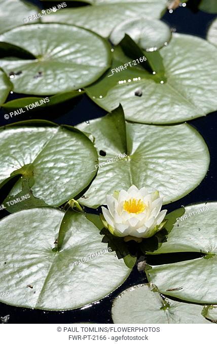 Water lily, White water lily, Nymphaea alba, Single flower growing outdoor on water