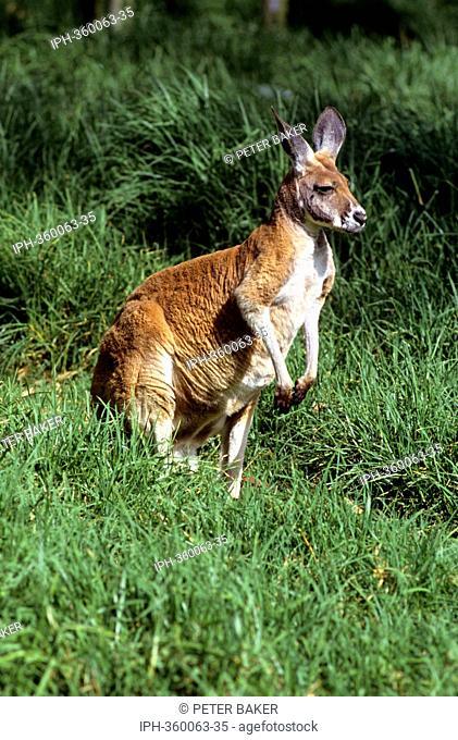Kangaroo in grassland