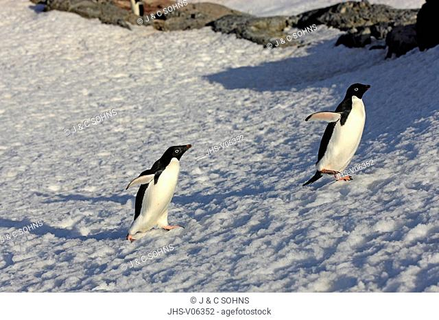 Adelie Penguin, (Pygoscelis adeliae), Antarctica, Brown Bluff, adult couple walking in snow