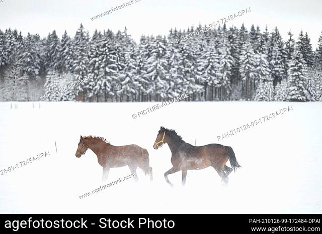 26 January 2021, Baden-Wuerttemberg, Albstadt: Two horses playing in the snow in a paddock in the Swabian Alb. Photo: Marijan Murat/dpa