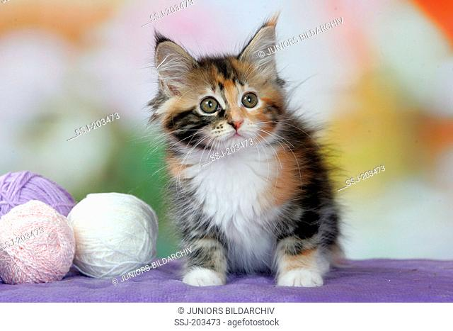 American Longhair, Maine Coon. Tricoloured kitten next with wool balls. Germany
