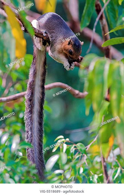 Cream-coloured giant squirrel (Ratufa affinis) from Sepilok, Sabah, Borneo. - 03/08/2007