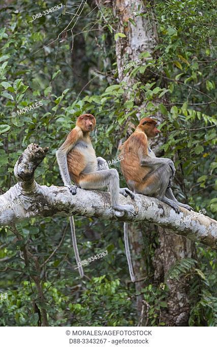 Asia, Indonesia, Borneo, Tanjung Puting National Park, Proboscis monkey or long-nosed monkey (Nasalis larvatus), in a tree