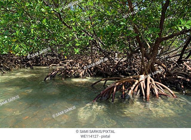 Mangroves at Cayo Jutias, Cuba