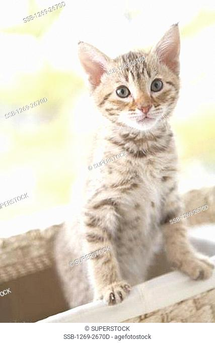Close-up of an Ocicat kitten in a basket
