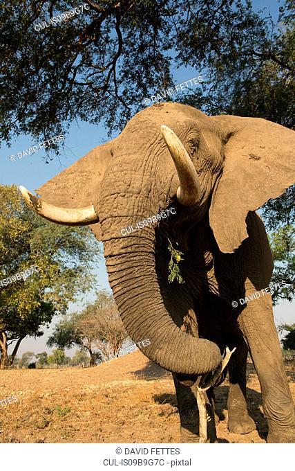 African elephant (Loxodonta africana) feeding under tree, Chirundu, Zimbabwe, Africa