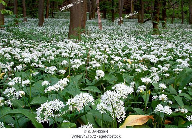 ramsons, buckrams, wild garlic, broad-leaved garlic, wood garlic, bear leek, bear's garlic (Allium ursinum), blooming, Hungary, Balaton, Keszthelyer Gebirge