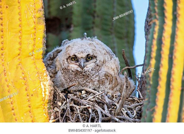 great horned owl (Bubo virginianus), chick in the nest in a saguaro cactus, USA, Arizona, Sonoran