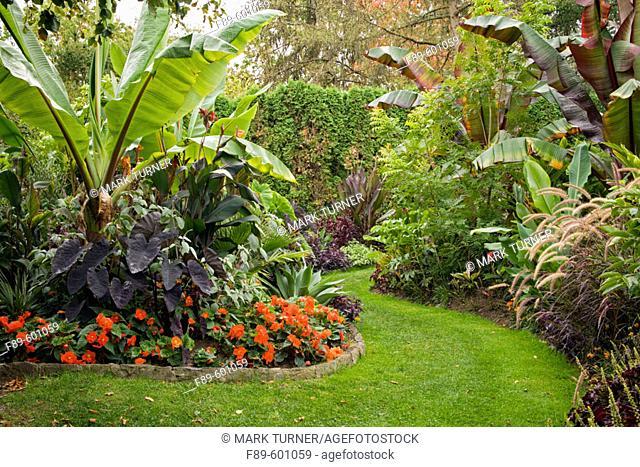 'Orange Nonstop Series' Begonias under Bananas, Elephant Ears in tropical garden w/ winding grass path (Ensete ventricosum; Ensete ventricosum 'Maurelii';...