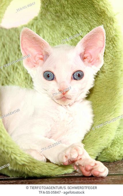 lying Devon Rex kitten
