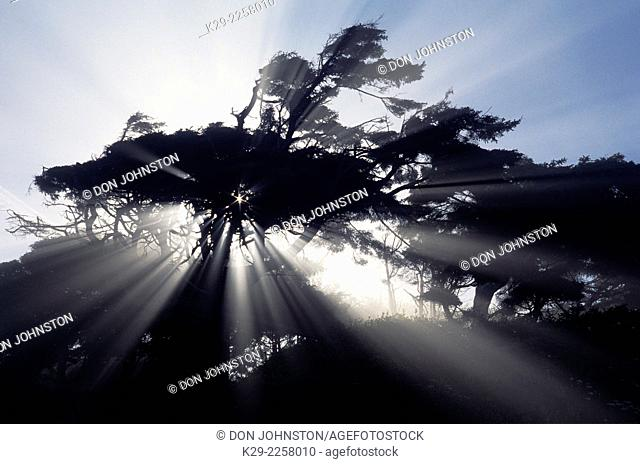 Silhouetted sitka spruce and sunbeams in light fog, Olympic National Park, Washington, USA