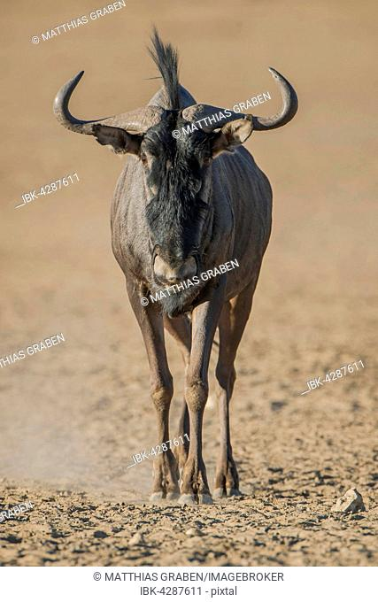 Blue wildebeest (Connochaetes taurinus), Kgalagadi Transfrontier National Park, Northern Province, South Africa